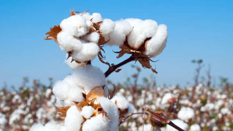 cotton: India's 2018-19 forward cotton export contract up 100% YoY