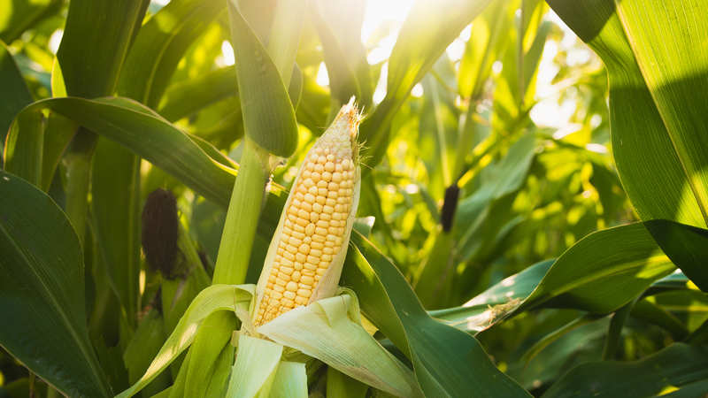 Rise in maize prices drives panic stocking - The Economic Times