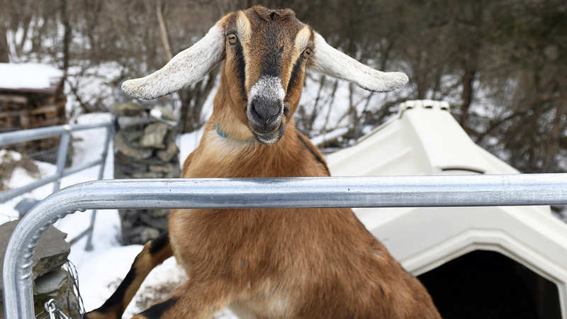 When a goat became the worthy political candidate for a