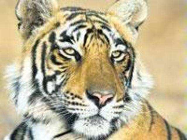 Tigress drowns in farm well near Tadoba - The Economic Times