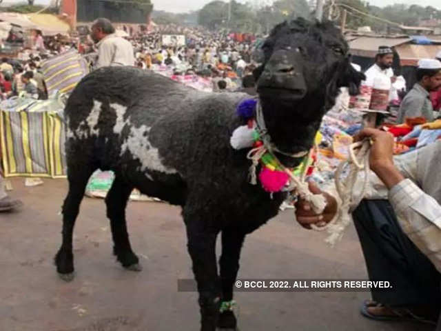 Pregnant Goat Gang Raped: Pregnant goat dies after being