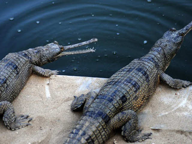 Two Gharial crocodiles die in Rajkot zoo - The Economic Times ee0e618ab1533
