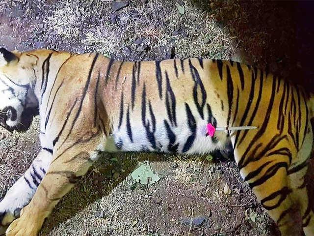 0033dbea2d7 Maneka Gandhi lashes out at Maharashtra government over killing of tigress  Avni