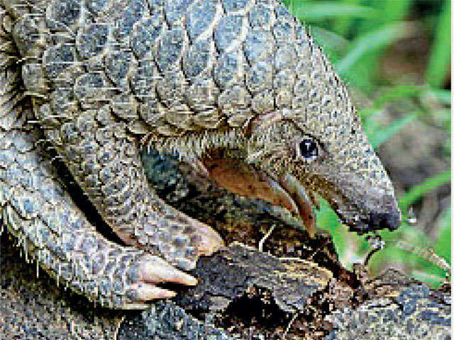pangolin day: 17 February is celebrated as World Pangolin