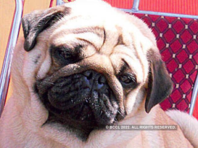 Vodafone Peta Goes After Vodafone For Use Of Pugs In Ads The