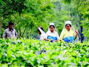 Plant manufacture tea, salt, tobacco and tobacco industry and food-concentrate products