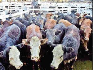Ritual slaughter bans aimed more at petty gains than animal protection
