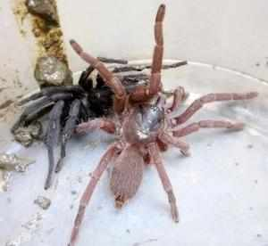 Seen here is a male (black) and female (pink) of the species of the spiders that swarmed a village near Sadiya in Assam and attacked people. (Picture courtesy Dibrugarh University)