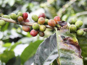 Government is in an advanced stage of considering a proposal to increase the cost of replanting in coffee estates and subsidy limits and also open up the scheme to cooperatives and corporates.