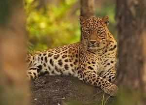 Study says around 2,294 leopards were poached and their parts traded over the 10-year period in India, an average of four leopards a week.
