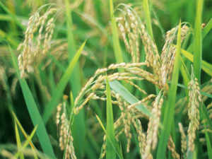 Rice output in India may slip below last year's record of 104.32 million tonnes, but the supply situation would be comfortable to meet the domestic demand.