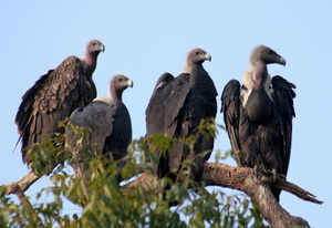 The dramatic decline in vulture population prompted the International Union for Conservation of Nature (IUCN) to put vultures on its list of 'critically endangered' species.