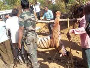 Gondia district deputy conservator of forests S V Ramarao said the animal was not more than three years old and was shot 20km from the Navegaon National Park boundary.