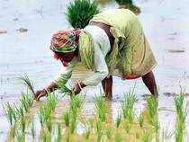 Bengal is targeting a production of 40 lakh tonne rice during the rabi season while Assam is expected to produce 55 lakh tonne.