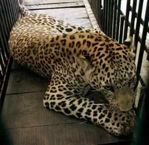 A leopard resting in a cage after being rescued near Sinhasa village in Indore.
