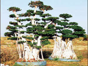 The olive, and many other exotic trees that share space at a 250-acre facility on the outskirts of Hyderabad, have been imported by Unique Trees.