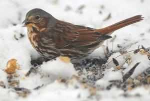 A fox sparrow, named for the red in its tail feathers, scratches for seeds at the Dobb s Park nature center Friday Dec. 21, 2012 in Terre Haute Ind. Park naturalist Carissa Lovett and the park welcomes donations of bagged bird seed.