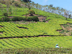Behind the delight of Sunny spring in Darjeeling hills, severe shortage of rainfall there has brought a big worry for tea planters.