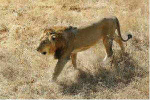 Asiatic lions will have a second home in Madhya Pradesh's  Kuno Palpur sanctuary as the apex court permitted their relocation in limited numbers from Gujarat's Gir forest.
