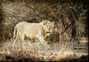The Bombay Natural Hisotry Society(BNHS) India, terms this type of re-introduction as 'Human Assisted Dispersal', which means re-introduction of a species to some part of its former range through human intervention.