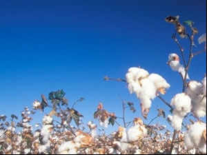 In the last cotton season, the natural fibre production stood at 352 lakh bales and exports were to the tune of about 127 lakh bales.