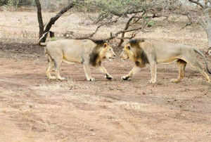 Observing the snake consuming a toad, lioness Salia pounced on it and caught its neck, while another lion Jumbo grabbed the snake's tail and the animals cut the snake into two pieces.