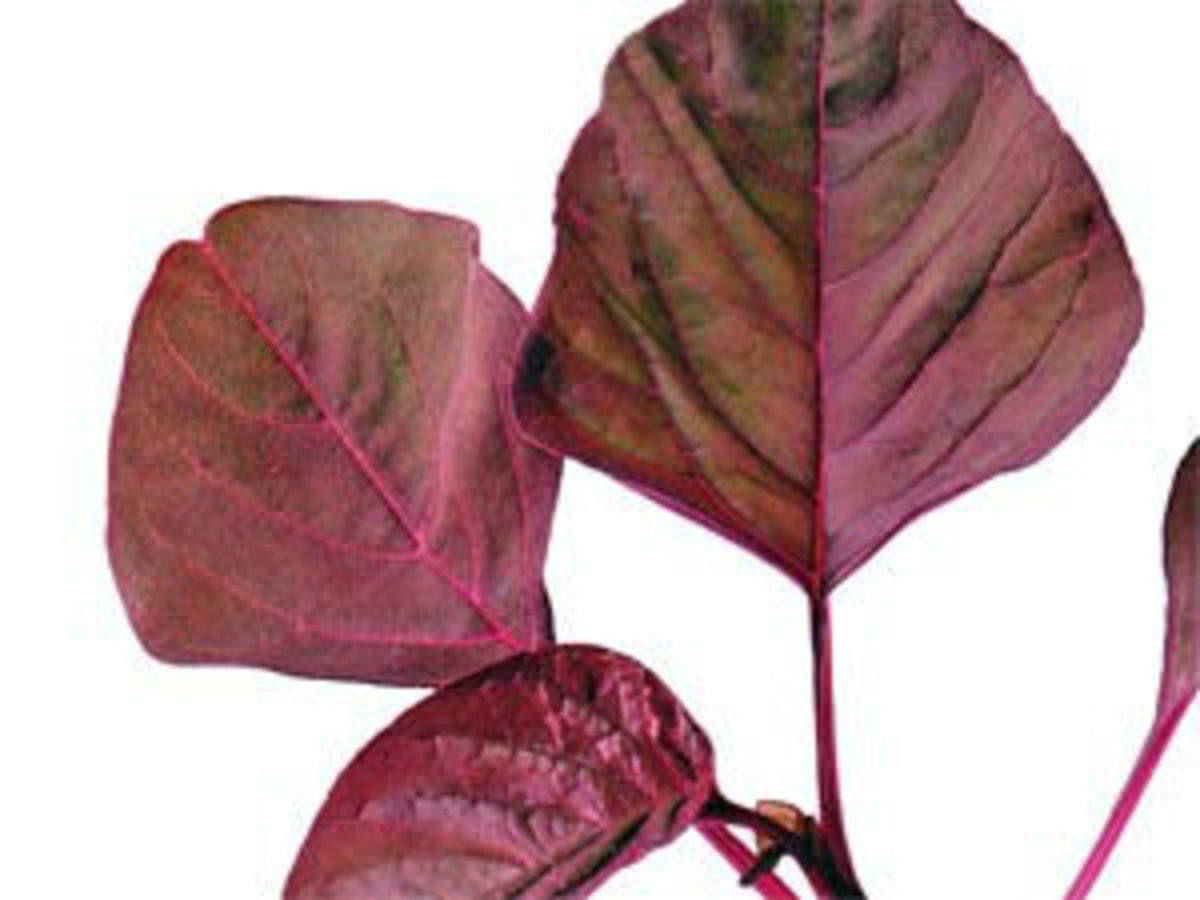 Red spinach is a worthy addition to one's diet - The