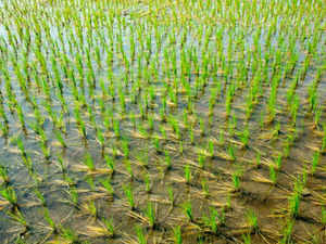 As land under rice cultivation is falling, farmers are turning away as rice cultivation  is not profitable. But rice is staple food for over 65% people of our country.