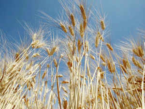 The government today raised the minimum support price (MSP) for wheat by Rs 50 to Rs 1,400 per quintal to encourage farmers to cover more area under the crop