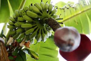 Phailin destroys over 70% banana fruit in its hub area