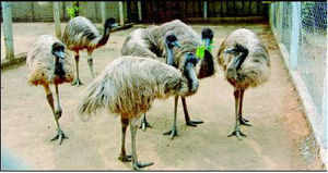 The birds are being auctioned off for cheap meat in Tamil Nadu. (Photo: S Parthiban)