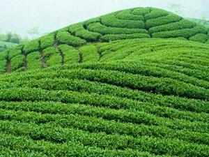 The new tea policy allows tea garden and estate owners to use some of areas which are not under cultivation for alternative use such as tourism to improve revenue.