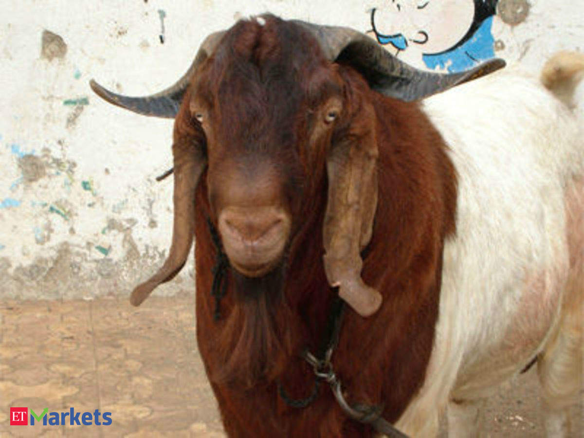 Premium variety Boer goats are sold online for up to Rs