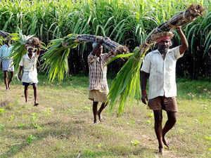 Maharashtra produced 7.9 million tonne of sugar after crushing 70.1 million tonne of sugarcane with a total of 172 mills.