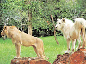 The most memorable adventure, my husband and I indulged in was walking with the lions at Casella Nature Park in Mauritius.