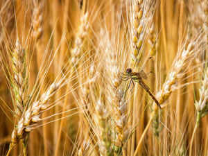 The Food Ministry has moved a Cabinet note proposing a reduction in the floor price of wheat by $40 at $260 a tonne to make exports viable.