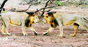 The IIM-Ahmedabad professor will counter the claims of Madhya Pradesh over the translocation of lions to Kuno Palpur.