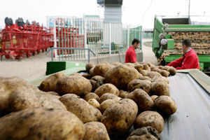 West Bengal produces around 9.5 Million Ton of potato, around 25% of national yield, that is under jeopardy.