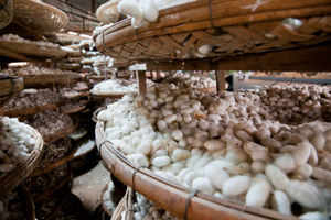 Sericulture would employ 9.24 million people by 2016-17:  Central Silk Board