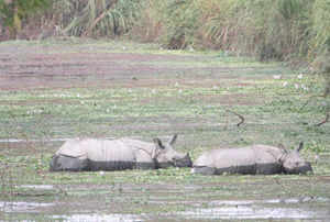 The rhinos of Kaziranga National Park are under serious threat from poachers.