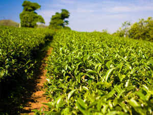 Assam has around 800 big tea estates and around one lakh small tea growers producing roughly 550 million kgs of tea annually.