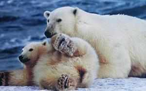 A genetic adaptation that helps convert food into heat may be key to how polar bears survive extreme arctic winters without hibernating, scientists have found.