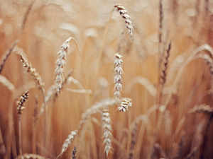 Wheat prices rose by Rs 5 per quintal in an otherwise steady wholesale grains market today due to increased offtake by flour mills.