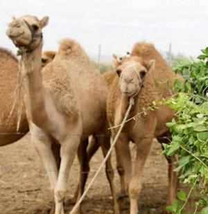 Rajasthangovernment plans to accord state heritage status to the camel, even as it expressed concerns over the animal's depleting population, crucial for the desert state.