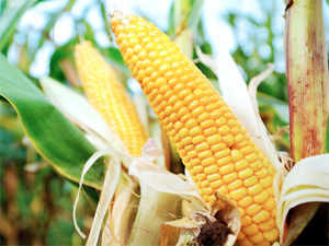 It will also open the floodgates for trials of 53 other food crops, which could be taken up as early as the next meeting of theGEACin late March.