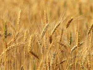 India wheat prices remain firm in the global market with reports of crop loss doing the rounds in the domestic market.
