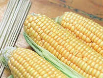 The Indian hybrid seed sector is now pegged at around Rs 12,000 crore with hybrid maize accounting for little over Rs 1,500 crore. At present, the two major maize growing states of AP and Karnataka account for a third of the country's maize production.