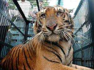 The 12-year-old male tiger was suffering from septicaemia when it was captured (TOI Photo)