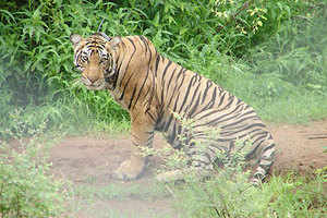 A male tiger after being shifted to Sariska National Park in Rajasthan. (PTI Photo)