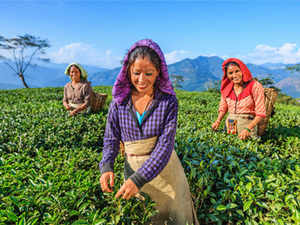 Badly hit with lack of rainfall, Indian small tea growersreiterated their old demand of coverage under Agriculture Crop Insurance schemes.